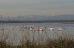 Swans in Rice Field