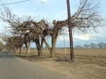 Row of trees cut for powerline