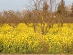 Mustard in fruit orchard